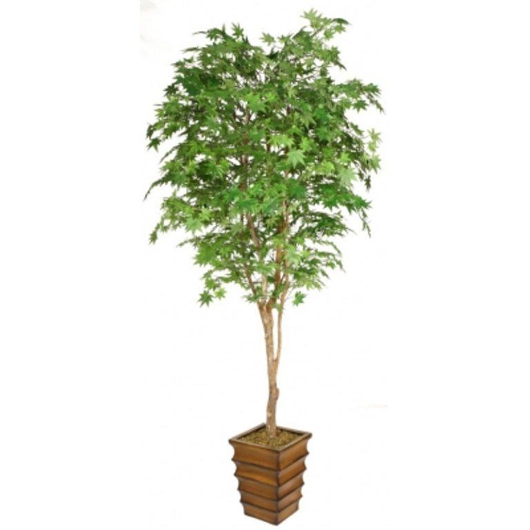 дерево Клен Японский