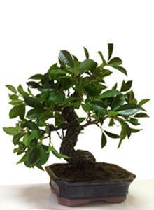 Бонсаи лиственные